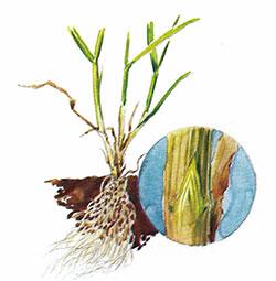 grassplant